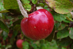 Sweet red apple Stock Photos