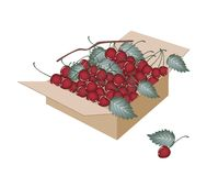 Sweet Red Cherries in A Shipping Box Stock Photo