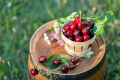 Sweet red cherry in a basket and wild flowers on a wooden wine barrel in a  garden. Copy space. Soft focus. Sweet cherry in a basket and wild flowers on a royalty free stock photos