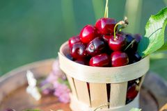 Sweet red cherry in a basket and wild flowers on a wooden wine barrel in a  garden in summertime. Copy space. Soft focus. Sweet red cherry in a basket and wild royalty free stock images