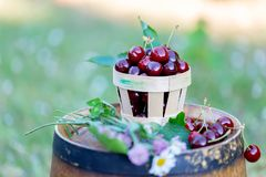 Sweet red cherry in a basket and wild flowers on a wooden wine barrel in an  orchard in summertime. Copy space. Soft focus. Sweet red cherry in a basket and royalty free stock images