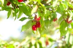 Sweet red cornelian cherry Royalty Free Stock Photos