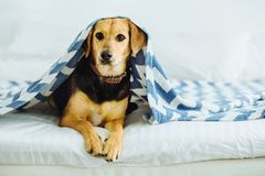 Sweet dog peeks out from under the blankets. Pet lies on the bed. Relaxing and cozy home comcept stock photography