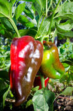 Sweet red kapia peppers Stock Photos