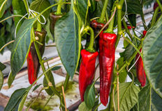 Sweet red peppers growing in a Dutch green house from close Stock Images