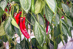 Sweet red peppers growing in a Dutch greenhouse from close Stock Images