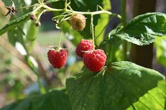 Red raspberry close up in my garden royalty free stock photos