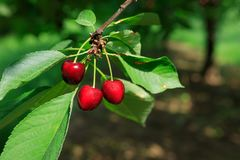 Sweet Red Ripe Cherries on Tree Branch Stock Photo