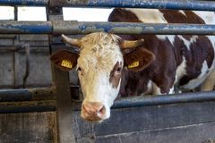 Sweet red and white cow with horns is peeking through bars of a fence in a stable. royalty free stock images