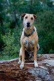 Sweet Ridgeback, mixed breed Royalty Free Stock Photos