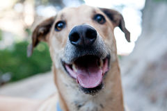Sweet Ridgeback, mixed breed Stock Photos