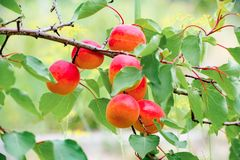 Sweet ripe apricots growing on a branch among juicy green leaves royalty free stock photography