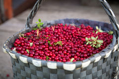 Sweet ripe berry cranberries in basket after harvest Royalty Free Stock Photos