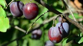 Sweet ripe blue plum on branch stock footage