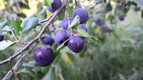 Sweet ripe blue plum on branch stock video