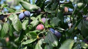 Sweet ripe blueplum on a branch stock video footage