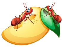 A sweet ripe mango with two ants Stock Images