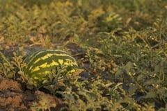 Sweet Ripe Watermelon on Field. Ripe watermelon on field at sunset Stock Image