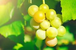 Sweet ripe white grapes. royalty free stock image
