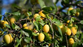 Sweet ripe yellow plum on branch against the blue stock footage