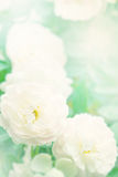 The sweet rose flowers for love romance background Stock Images