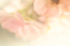Sweet roses in soft and blur style (vintage color) Royalty Free Stock Photos