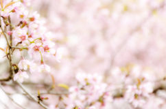 Sweet Sakura blossom Blured Background Stock Photos