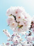 Sweet sakura Royalty Free Stock Photo