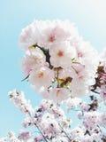 Sweet sakura. Sweet pink white sakura Royalty Free Stock Photo