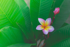 Sweet scent from white Plumeria flower Stock Images