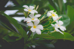 Sweet scent from white Plumeria flower Royalty Free Stock Photography