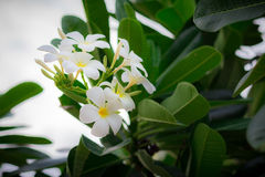 Sweet scent from white Plumeria flower Stock Photography