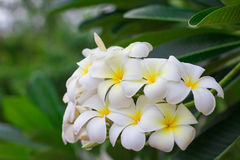 Sweet scent from white Plumeria flower Stock Image