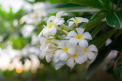 Sweet scent from white Plumeria flowers in the garden Stock Photos