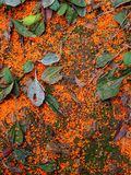Sweet-scented osmanthus. Fell on the ground in the garden Stock Image