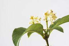 Sweet-scented osmanthus Stock Image