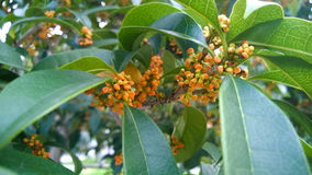 Sweet-scented osmanthus Royalty Free Stock Photos