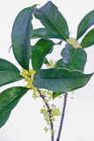 Sweet-scented osmanthus Royalty Free Stock Images