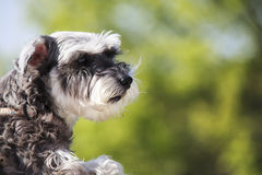 Sweet Schnauzer dog with funny ears smiles with nice background Royalty Free Stock Photography