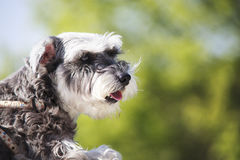 Sweet Schnauzer dog with funny ears smiles with nice background Royalty Free Stock Images