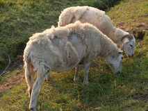 Sweet sheeps Stock Images