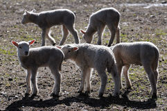 Sweet sheeps Stock Image