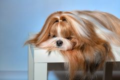 Sweet Shih tzu dog relaxing in studio or at home. Shih tzu is resting after grooming, exhibition on a white table. Lifestyle of a pet.  Close up portrait 6 year royalty free stock photo