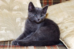 Sweet silver kitten on sofa Stock Photography
