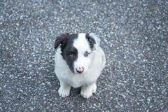 Sweet and small australian shepherd puppy dog royalty free stock photo