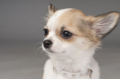 Sweet small chihuahua puppy with glamorous collar Royalty Free Stock Image