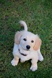 Sweet small puppy look up royalty free stock photo