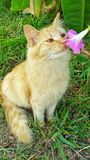 Sweet smells. White cat kitten animal smelling breathing in pink flower pets cute blue eyes outdoors nature Royalty Free Stock Photography