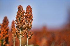 Sweet Sorghum stalk and seeds - biofuel and food - horizontal Stock Photography