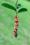 Sweet and sour fruit call Antidesma thwaitesianum on the tree Stock Image